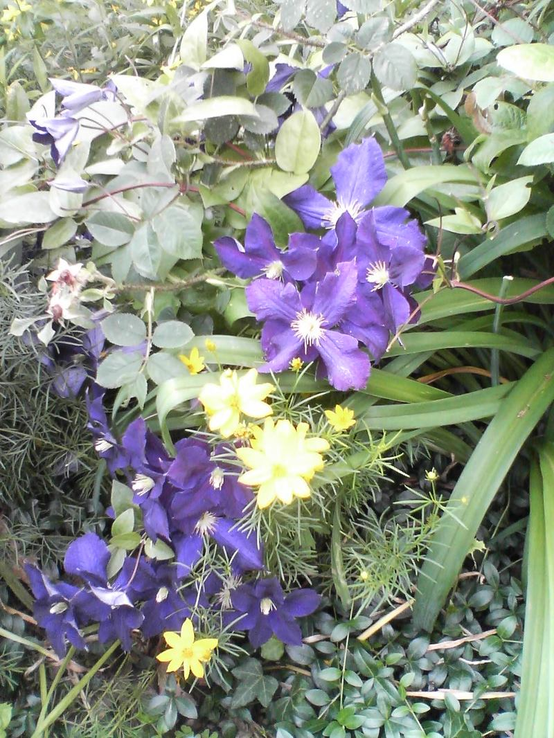 Clematis and Yellow Flowers