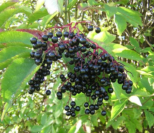 Elderberries-reduced