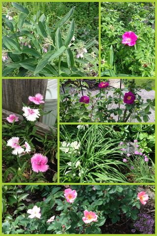 Tinctures , Tonics and Teas : The roses are a'blooming.. Time for tea!
