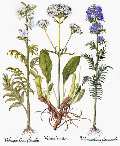 Valerian-flowers-1613-granger