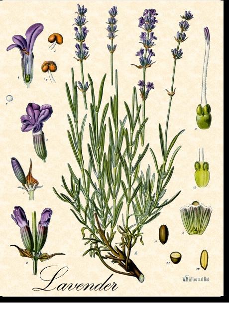 ELAVENDER-botanical
