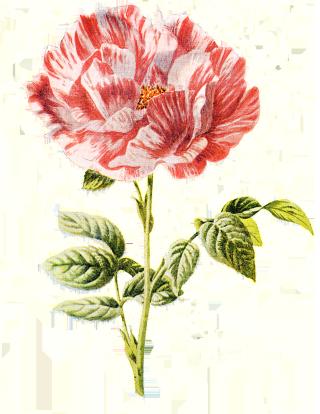 York_And_Lancaster_Rose_White