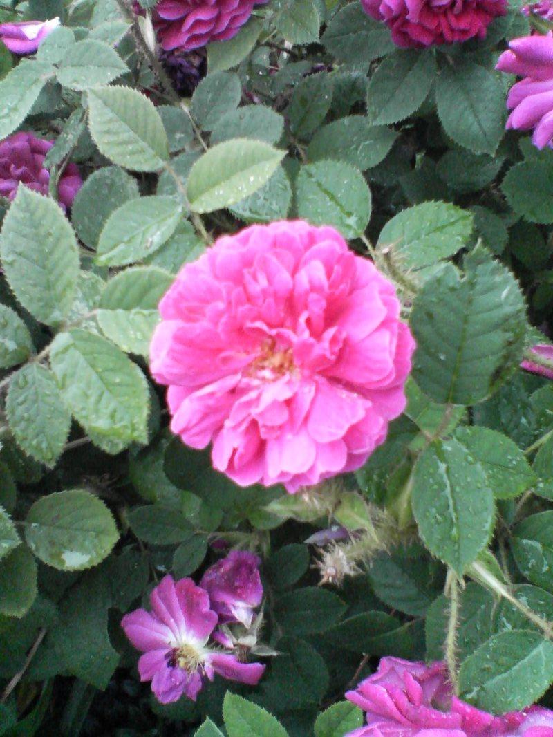 Roses in the Morning Rain